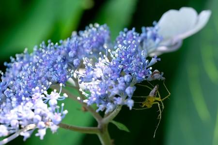 2020.06.20 和泉川 紫陽花とササグモ