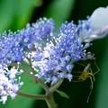 Photos: 2020.06.20 和泉川 紫陽花とササグモ
