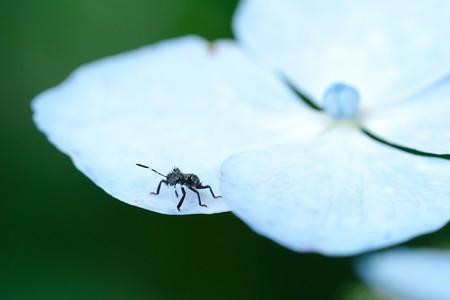 2020.06.20 和泉川 紫陽花にクサギカメムシ
