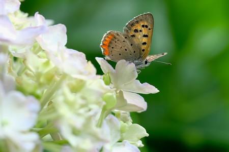 2020.06.21 追分市民の森 紫陽花に老いたベニシジミ