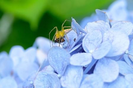 2020.06.23 追分市民の森 紫陽花にササグモ ツマグロキンバエを捕獲