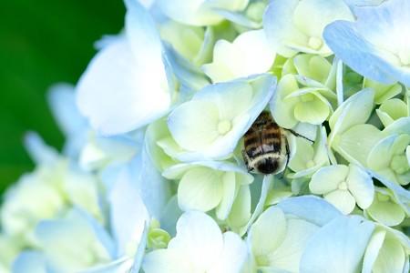 2020.06.23 追分市民の森 紫陽花にヒメトラハナムグリ