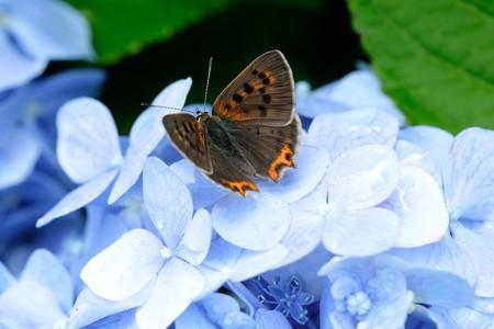 2020.06.23 追分市民の森 紫陽花にベニシジミ