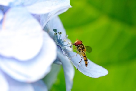 2020.06.23 追分市民の森 紫陽花にホソヒラタアブ