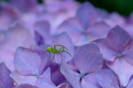 2020.06.24 和泉川 紫陽花でハナグモ