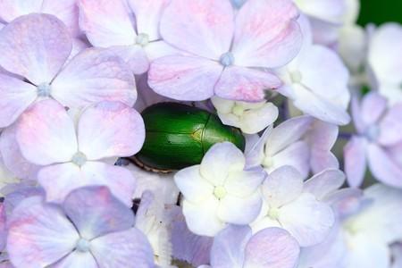 2020.06.24 和泉川 紫陽花にアオドウガネ