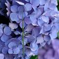 Photos: 2020.06.24 和泉川 紫陽花にナナフシ