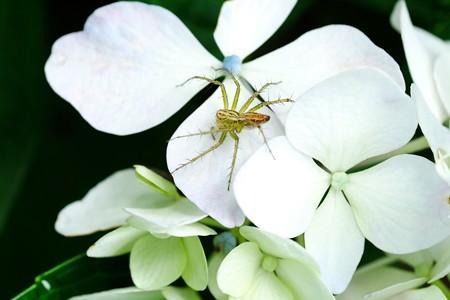 2020.06.26 追分市民の森 紫陽花にササグモ