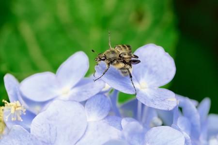 2020.06.26 追分市民の森 紫陽花にヒメトラハナムグリ