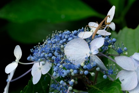 2020.06.30 追分市民の森 紫陽花にカマキリ