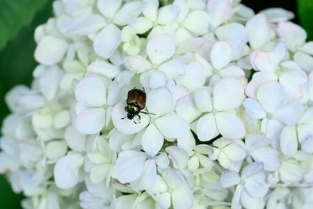 2020.07.11 追分市民の森 紫陽花にマメコガネ