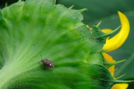 2020.07.12 追分市民の森 向日葵とブチヒゲカメムシ