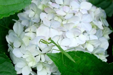 2020.07.12 追分市民の森 紫陽花にカマキリ