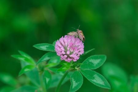 2020.07.15 和泉川 紫詰草でブチヒゲカメムシ