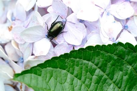 2020.07.16 追分市民の森 紫陽花でヒメコガネ