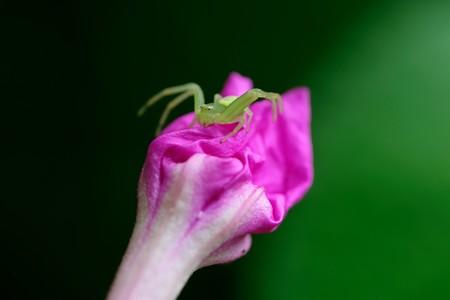 2020.07.20 追分市民の森 白粉花にコハナグモ