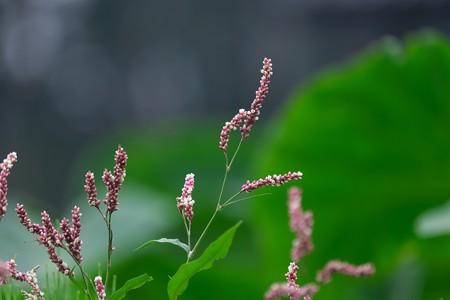 2020.07.21 和泉川 里芋畑にイヌタデ