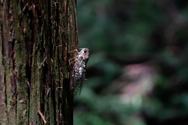 2020.07.27 瀬谷市民の森 ヒグラシ