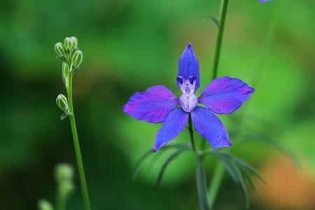 2020.07.31 和泉川 キキョウソウに似た花
