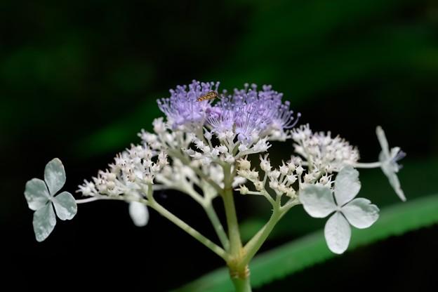 2020.08.02 瀬谷市民の森 玉紫陽花とホソヒラタアブ