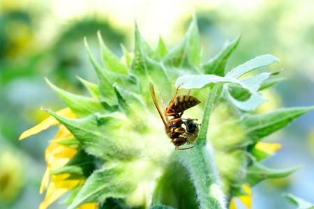 2020.08.02 追分市民の森 向日葵の葉陰でキイロスズメバチ 捕食