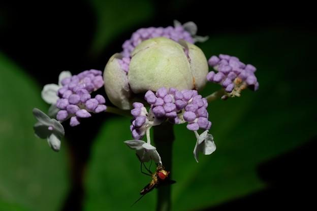 2020.08.04 瀬谷市民の森 玉紫陽花とホソヒラタアブ