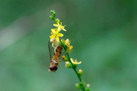 2020.08.08 瀬谷市民の森 金水引でホソヒラタアブを捕獲したアズチグモ