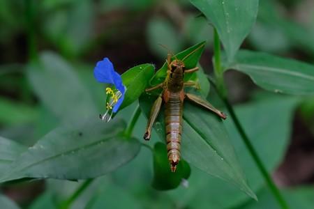 2020.08.08 瀬谷市民の森 露草でフキバッタ Entomophaga grylli