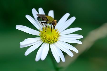 2020.08.24 追分市民の森 菊科の花にミドリバエ