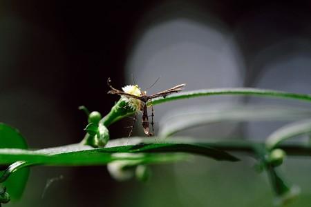 2020.09.05 瀬谷市民の森 秋分草でブドウトリバ
