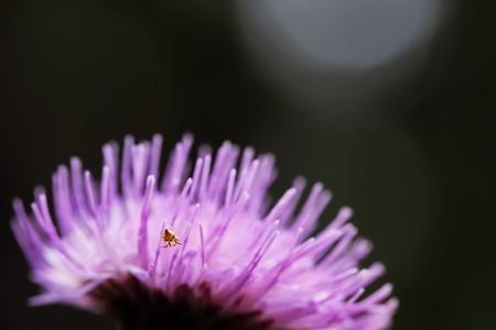 2020.09.13 瀬谷市民の森 野原薊に小さなクモ