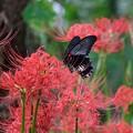 Photos: 2020.09.24 追分市民の森 彼岸花へナガサキアゲハ 花桃の下