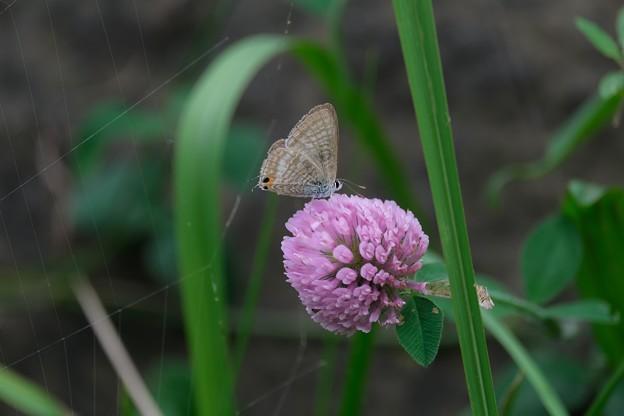 2020.10.19 和泉川 紫詰草にウラナミシジミ