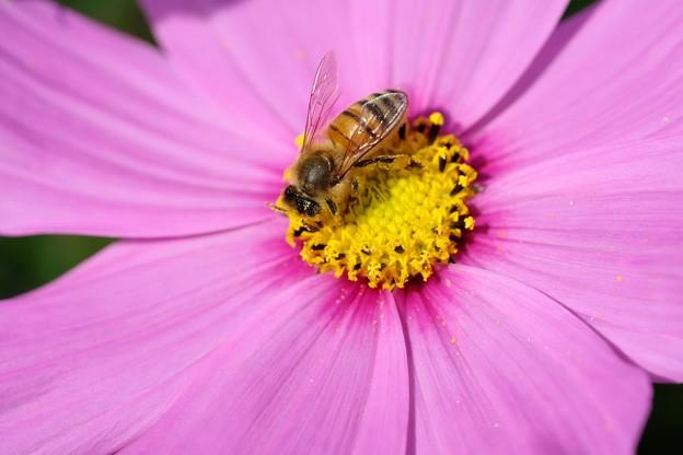 2020.10.26 追分市民の森 秋桜でミツバチ