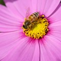 Photos: 2020.10.26 追分市民の森 秋桜でミツバチ