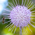Photos: 2020.10.29 追分市民の森 野原薊にホソヒラタアブ