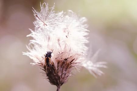 2020.10.31 瀬谷市民の森 野原薊にナミテントウ