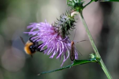 2020.11.04 瀬谷市民の森 野原薊にガガンボ向こうにオオマルハナバチ