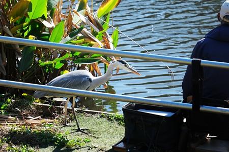 2020.11.05 和泉川 ヘラブナ釣りと蒼鷺