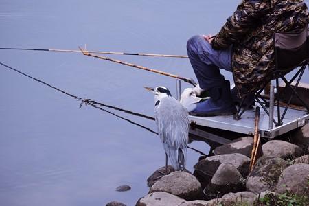 2020.11.07 和泉川 箆鮒釣りと蒼鷺