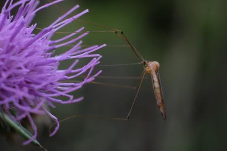 2020.11.12 瀬谷市民の森 野原薊とガガンボ