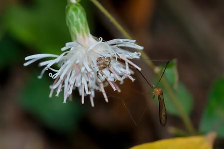 2020.11.17 瀬谷市民の森 高野箒でカニグモとガガンボ