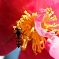 Photos: 2020.11.26 追分市民の森 山茶花にホソヒラタアブ