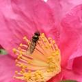 Photos: 2020.11.29 追分市民の森 山茶花とホソヒラタアブ 金色