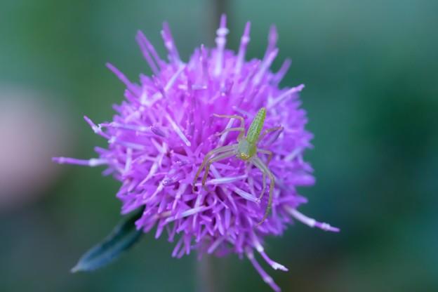 Photos: 2020.12.01 瀬谷市民の森 野原薊にワカバグモ