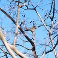 Photos: 2020.12.01 追分市民の森 百日紅にホオジロ