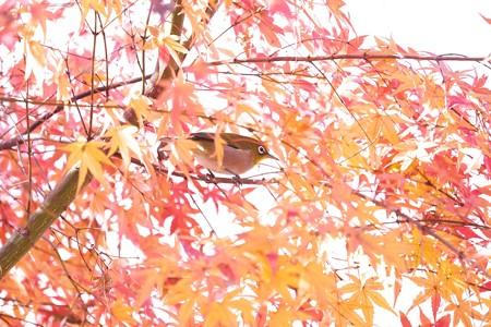 2020.12.08 追分市民の森 紅葉にメジロ