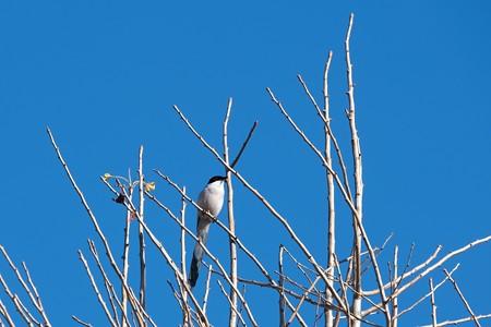 2020.12.15 和泉川 釣り人監視鳥 オナガ