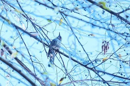 2020.12.17 和泉川 冬のヒヨドリ