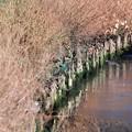 Photos: 2020.12.20 和泉川 凍る川面 カルガモとカワセミ